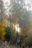 Zonlichtonderbrekingen door het bos op een mistige ochtend stock foto