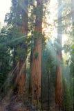 Zonlichtstromen rond massieve sequoiabomen, sequoia nationaal park, Stock Fotografie