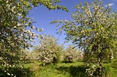 Zonneappelbloemen Royalty-vrije Stock Afbeeldingen