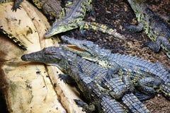 Zonnebaad/Vlotter van Nile Crocodile bij een bezoekersaantrekkelijkheid stock afbeeldingen