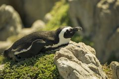 Zonnebadende Afrikaanse Pinguïnen stock afbeelding