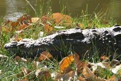 Zonnebadende Krokodil Stock Afbeelding