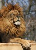 Zonnebadende leeuw Stock Afbeelding