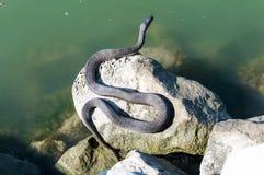 Zonnebadende slang op de rotsen naast water Stock Afbeelding