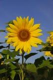 Zonnebloem. stock afbeelding
