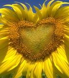 Zonnebloem aan liefde Stock Foto