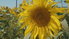 Zonnebloem bij zonnige dag stock videobeelden
