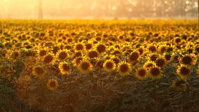 Zonnebloem bij zonsondergang Stock Fotografie