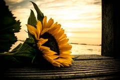 Zonnebloem bij zonsondergang Stock Afbeelding