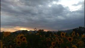 Zonnebloem bij zonsondergang stock video