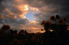 Zonnebloem bij zonsondergang Royalty-vrije Stock Foto's