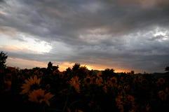 Zonnebloem bij zonsondergang Stock Afbeeldingen