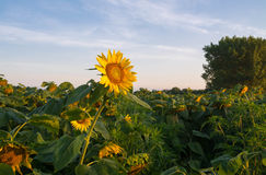 Zonnebloem bij zonsopgang Royalty-vrije Stock Foto