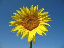 Zonnebloem in blauwe hemel Stock Afbeeldingen