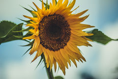 Zonnebloem Blauwe hemel Royalty-vrije Stock Foto's