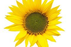 Zonnebloem in bloei Royalty-vrije Stock Afbeeldingen