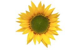 Zonnebloem in bloei Stock Foto