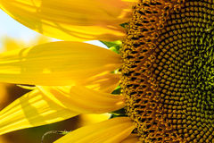 Zonnebloem in bloei Stock Afbeelding