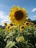 Zonnebloem, bloem royalty-vrije stock foto's