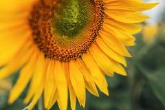 Zonnebloem in de aard Stock Afbeelding