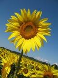 Zonnebloem in de blauwe hemel Royalty-vrije Stock Afbeelding