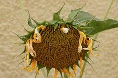Zonnebloem in de herfst Stock Foto's