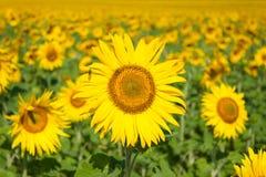 Zonnebloem in de ochtend op de zon Stock Afbeelding