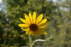 Zonnebloem in de tuin Royalty-vrije Stock Afbeeldingen