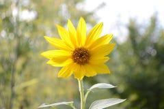 Zonnebloem in de tuin Stock Fotografie