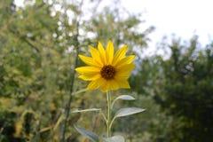 Zonnebloem in de tuin Stock Afbeeldingen