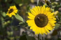 Zonnebloem in de tuin royalty-vrije stock afbeelding