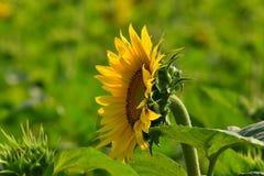 Zonnebloem in de voorgrond Stock Afbeelding