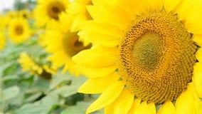 Zonnebloem in de wind stock videobeelden