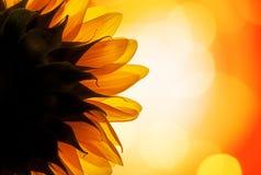 Zonnebloem in de zon Stock Fotografie