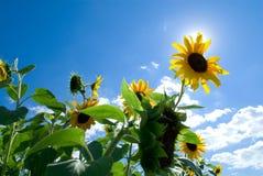 Zonnebloem in de zon Stock Afbeelding