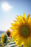 Zonnebloem in de zonneschijn Royalty-vrije Stock Foto