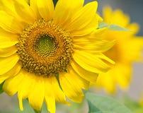 Zonnebloem dichte omhooggaand Stock Afbeelding
