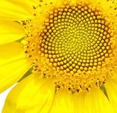 Zonnebloem dichte omhooggaand Stock Foto