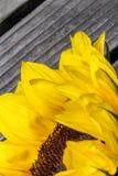 Zonnebloem dichte omhooggaand met een houten achtergrond Stock Afbeeldingen