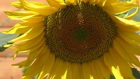 Zonnebloem die in de wind slingeren stock videobeelden