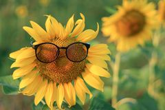Zonnebloem die glazen met een vage achtergrond dragen stock fotografie