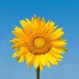 Zonnebloem die met het knippen van weg wordt geïsoleerdn Royalty-vrije Stock Afbeelding