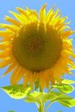 Zonnebloem die met Kleur barsten Stock Fotografie