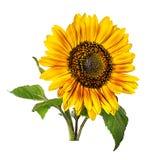 zonnebloem die op white Stock Foto