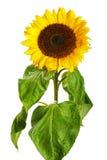 zonnebloem die op white Stock Foto's