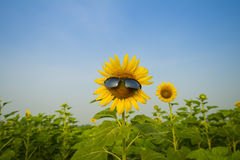 Zonnebloem die Zonnebril dragen Royalty-vrije Stock Afbeelding