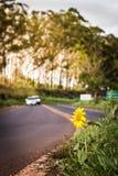 Zonnebloem door de kant van de weg Stock Foto