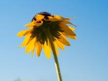 Zonnebloem door het toenemen zon wordt verlicht die Royalty-vrije Stock Foto's