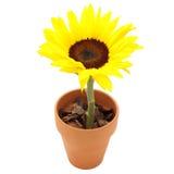 Zonnebloem in een pot Royalty-vrije Stock Afbeelding