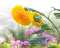 Zonnebloem in een tuin stock afbeelding